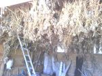 Garlic drying/curing in the Barn