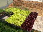 'Merlot' and 'Black Seeded Simpson' lettuce transplants