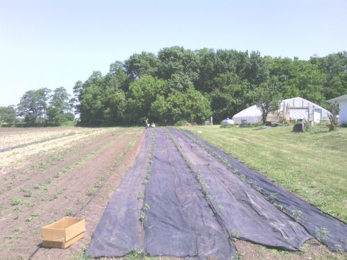 Landscaping Fabric being placed between tomato rows.  We use weed fabric (as opposed to black plastic) because it is reusable (not thrown away every year) and unlike plastic it is permeable to soak in the rain!