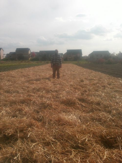 Farmer Ben standing in the garlic field after mulching is done