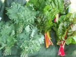 Red Russian Kale & Swiss Chard