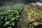 Lettuces and Spinach Under Shade Cloth