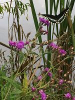 Black Lacewing on Ironweed