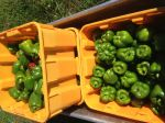 Freshly Picked Green Peppers