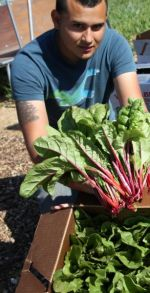 Chard Ready for Market