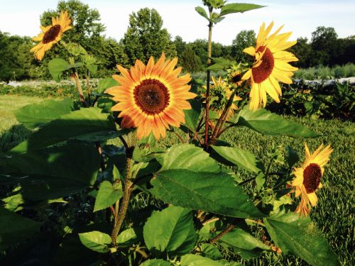 Multi branching Sunflowers