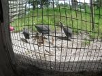 Baby guineas & their parents.