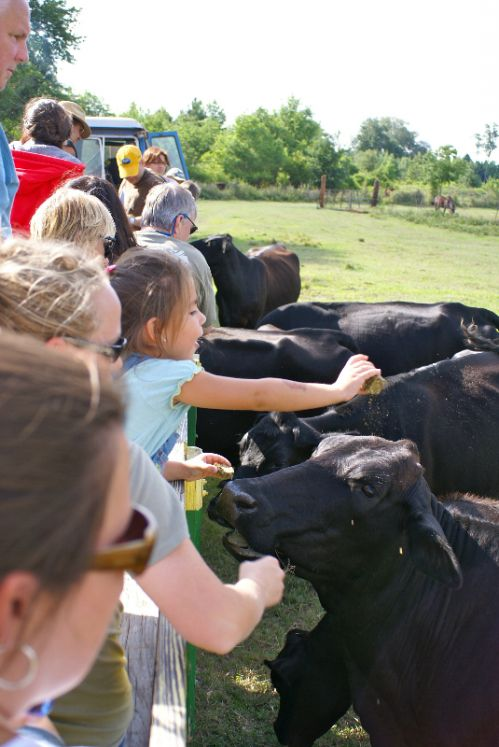 Children on a field trip visiting the cows and their baby calves.