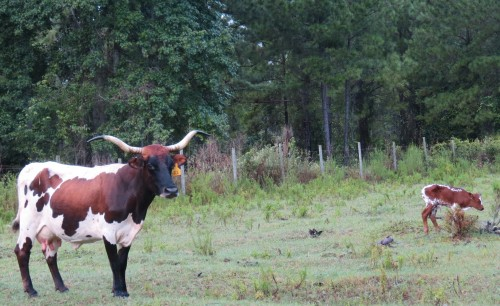Mama Longhorn and Baby