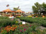 Maple Grove Fall Mums