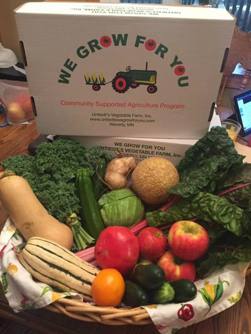 CSA Week 14: sugar cube melon, kale, Swiss chard, cabbage, butternut squash, delicate squash, chub cukes, jicama, honeycrisp apples, zucchini, and tomatoes.