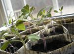 Young plants in newspaper pots