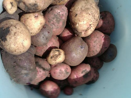 Heirloom Potatoes- Red, White, and Blue Potatoes