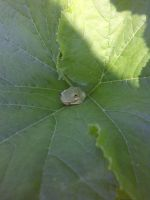 Tree Frog on squash leaf