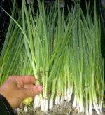Scallions freshly harvested