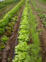 Winter hardy greens in the farm high tunnel