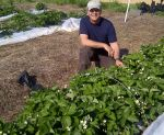 Farmer Dave checking out strawberries