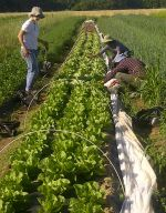 Romaine Lettuce Harvest