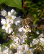 Honey bee on Buckwheat