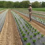 Farmhand Mary observing lettuce