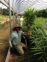 Rocky and Johnnie harvesting ginger