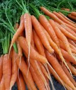 Fresh fall carrots