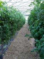 High tunnel tomatoes in July