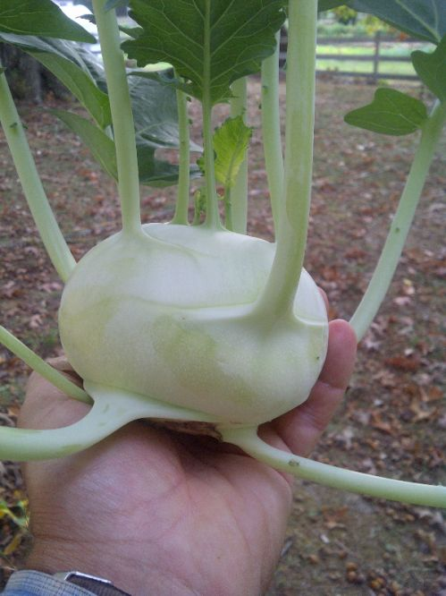 Kohlrabi.  The Martians have landed