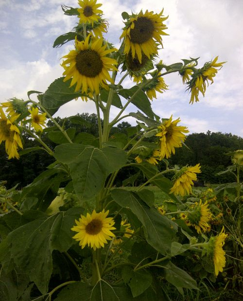 The American Goldfinch and Indigo Buntings enjoy snacking on the sunflowers
