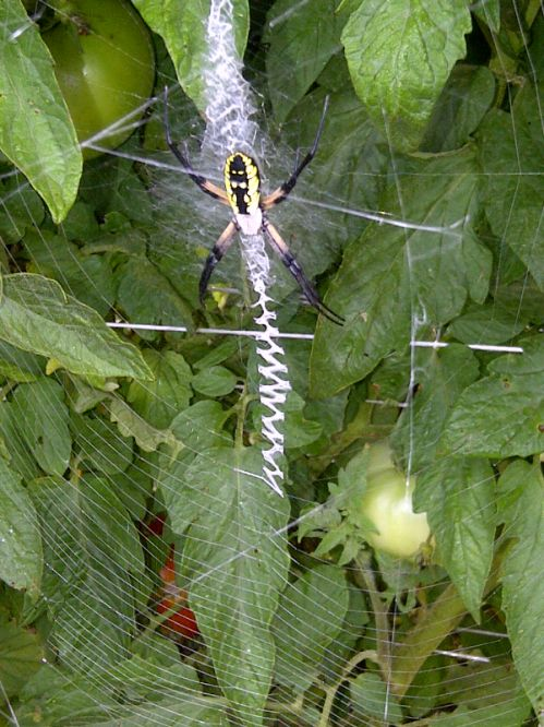 Standing Watch (over bad bugs on our tomatoes) Spiders are beneficial insects