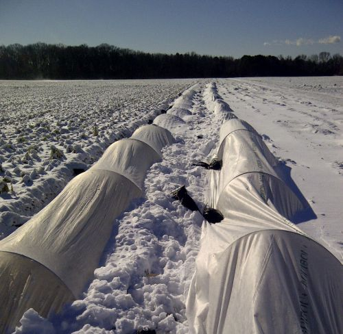 Onions growing over-winter