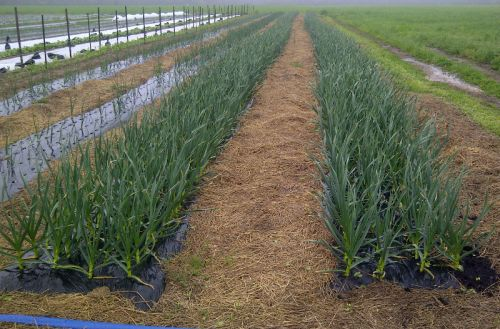 Garlic enjoying heavy rains