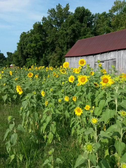 Sunflowers and old tobacco barn