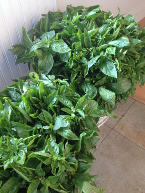 Freshly harvested basil