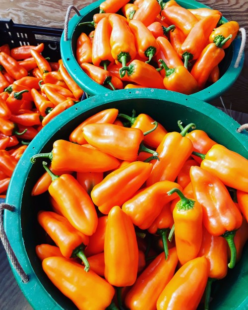 Oranos sweet peppers