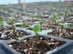 Broccoli seedling