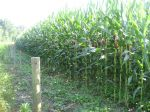 The corn is growning - thanks for the rain!