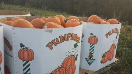 It's beginning to look a lot like pumpkin season
