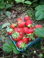 Freshly picked strawberries in our new field this year.  We will have a little over 6 acres of pick your own strawberries in 2014!