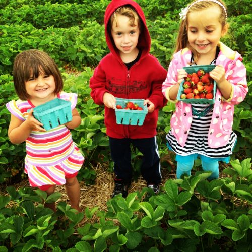 Margot, Jack, and Scarlet enjoying a day in the strawberry patch.