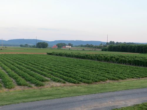 A view of one of the three strawberry patches.  To the right of the strawberry patch you will see one of the fields of black raspberries.