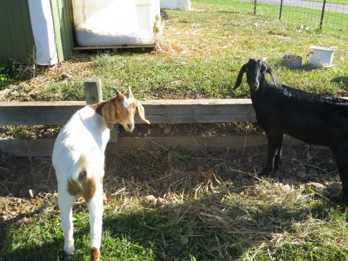 Some of the fun goats we bring in each fall season for our customers to enjoy.