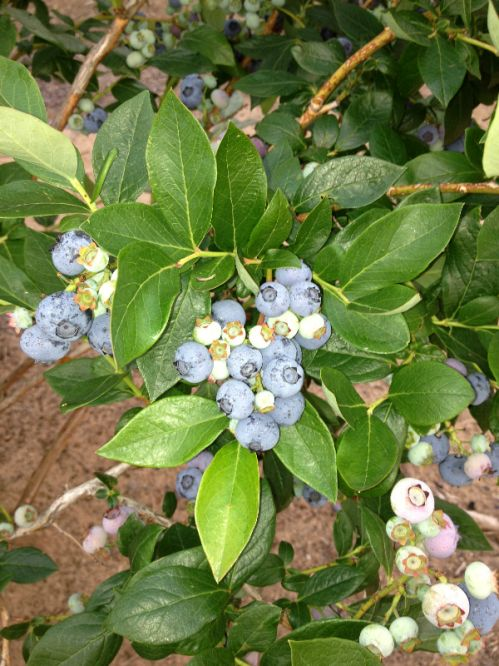 A mid-season blueberry bush bursting with fruit.