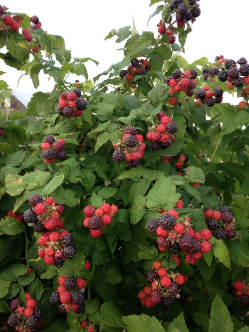 Our black raspberries ready to be picked.