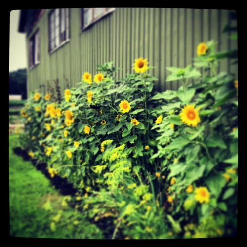 "This is a side view of the ""Green Barn"" that our farm is named after.  We love to grow and sell all sorts of sunflowers."