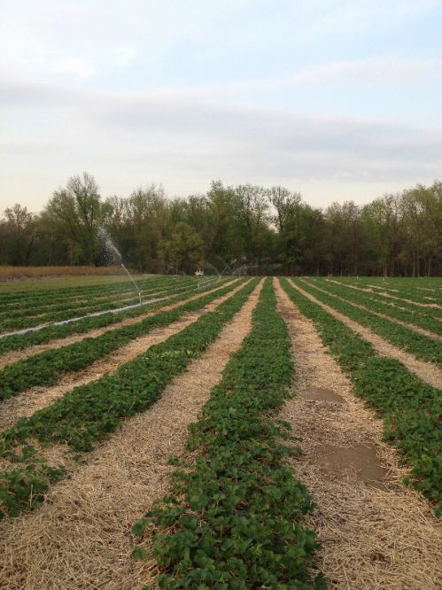 Our newest strawberry field for the spring of 2014.