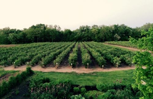One of our blueberry fields