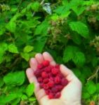 A Handful of Berries