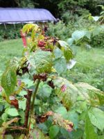 Raspberries damaged by fruit flies