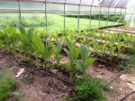 Turmeric Plants, Late July 2014